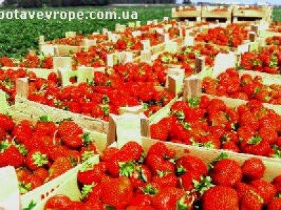 Работа в Финляндии сбор урожая
