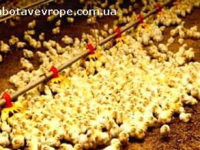 Работа в Польше птицефабрика