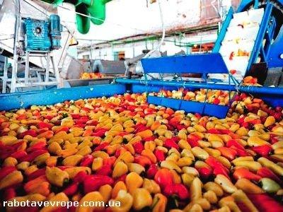Работа в Голландии на сборе овощей