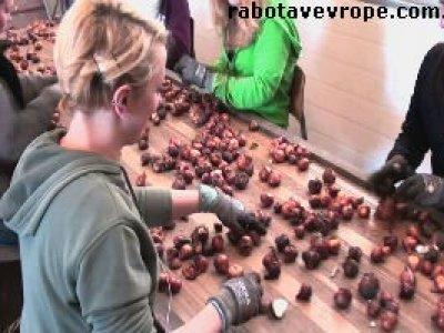 Работа в Голландии на сортировке корешков