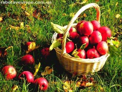 Работа в Польше сбор яблок