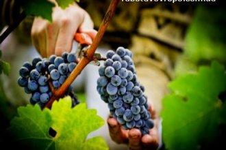 Работа во Франции сбор винограда