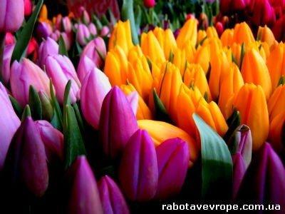 Работа в Голландии на тюльпанах