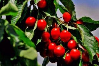 Работа в Хорватии на сборе вишни
