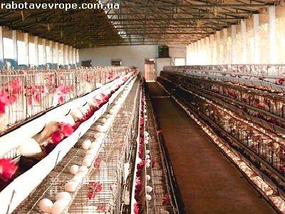 Работа в Швеции на куриной фабрике