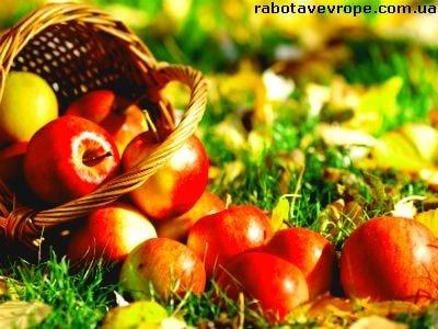 Работа в Германии на сборе яблок