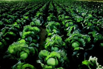 Работа в Голландии на поле с капустой