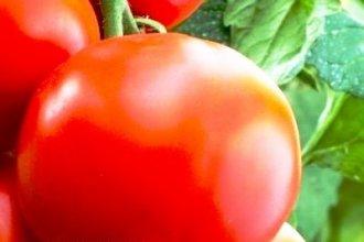 Работа в Бельгии на сборе помидоров