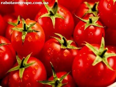 Работа в Голландии на сортировке помидоров