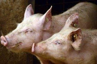 Работа в Германии на свиноферме